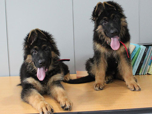 2013-KOREA-GERMAN-SHEPHERD
