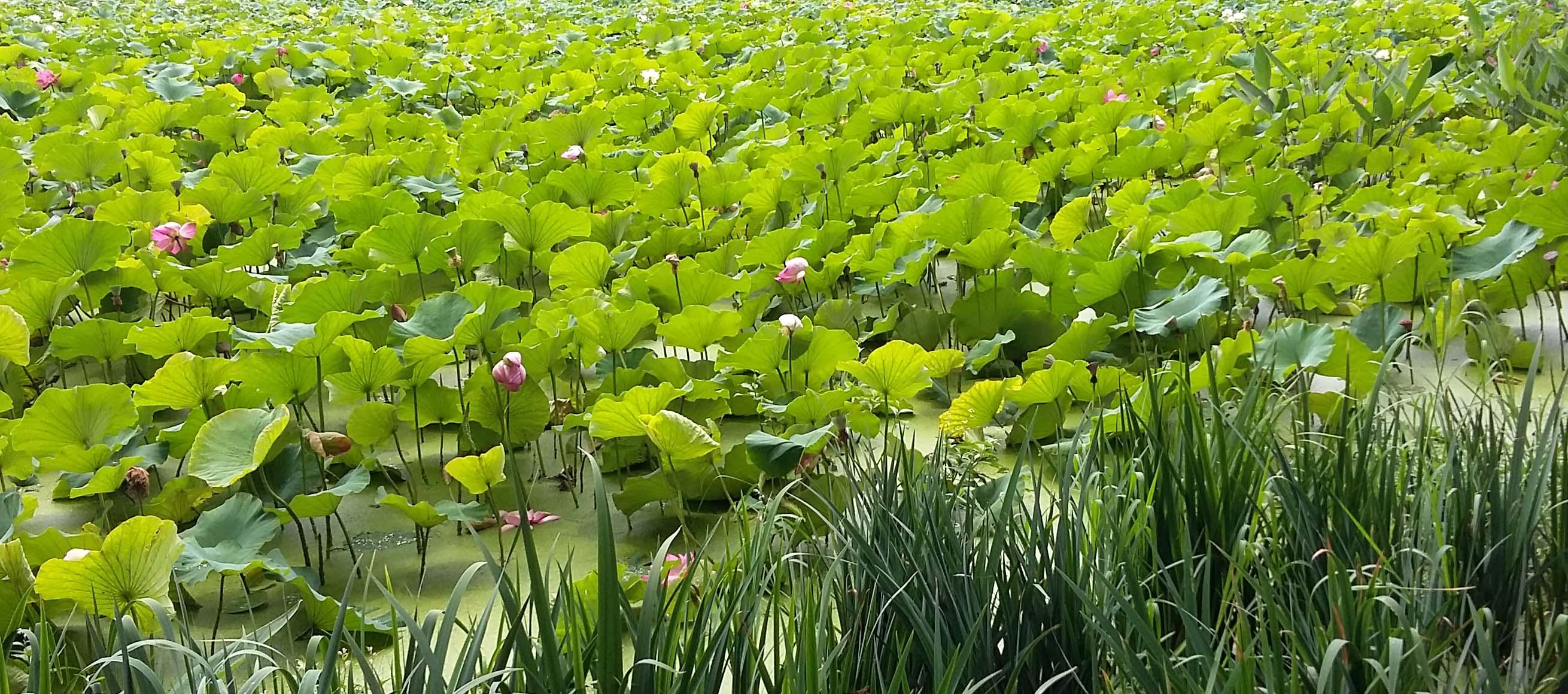 fleur-lotus-lucia