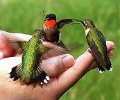 colibri main espace le colibri vallon pont arc 07 legende colibri