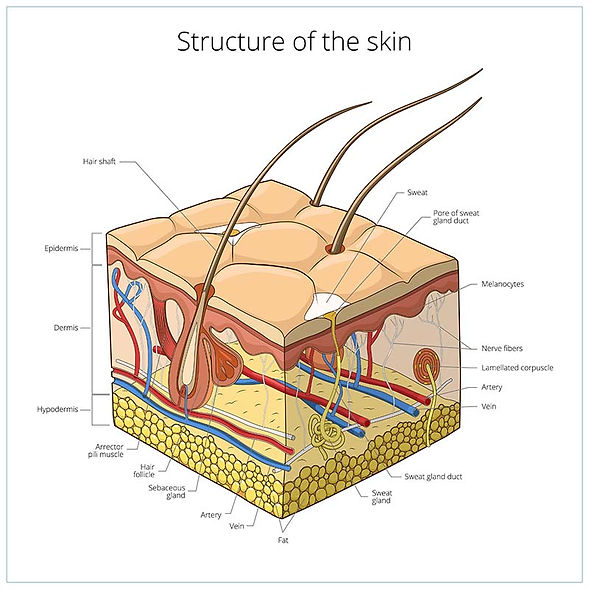 Dog-skin-structure-and-layers.jpg