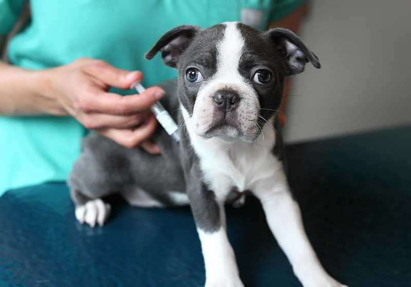 Boston Terrier vaccination.jpg