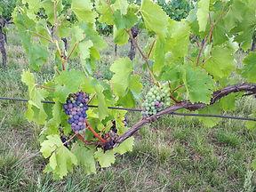 Trauben für die Verjus-Ernte