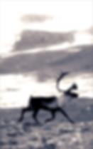 reindeer at hardangervidda v6 2018 _ 72d