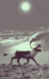reindeer at hardangervidda v5 2018 _ 72d