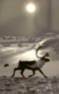 reindeer at hardangervidda v4 2018 _ 72d
