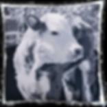 VELVET1a - Cow Calf 2016 _ 72dpi _ 719x7
