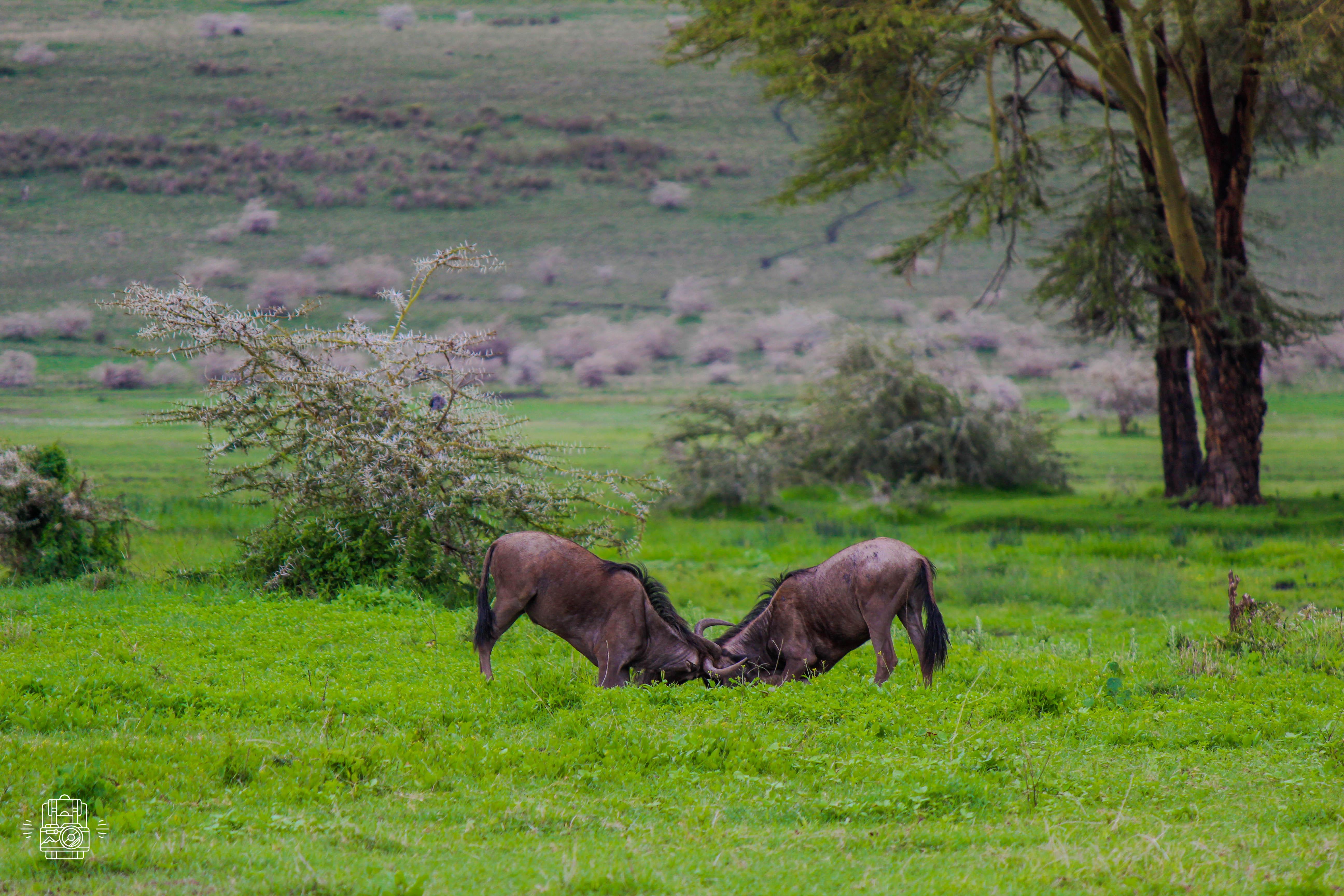 Tanzanie/ngorongoro