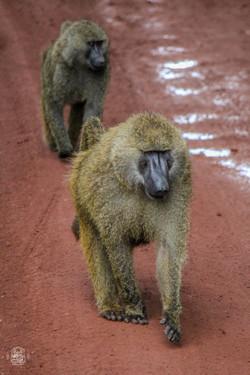 Tanzanie/Serengueti