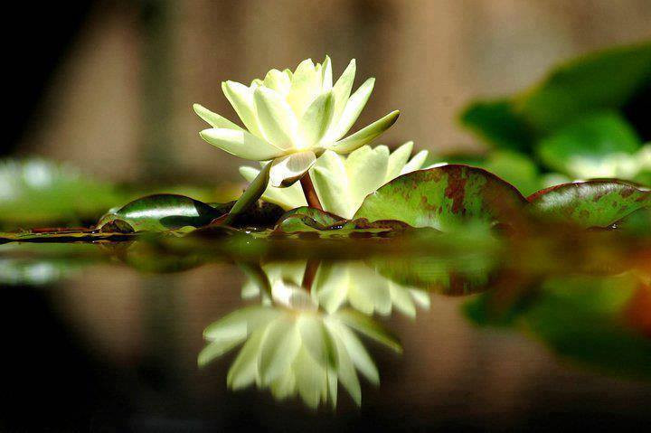 double yellow lotus.jpg