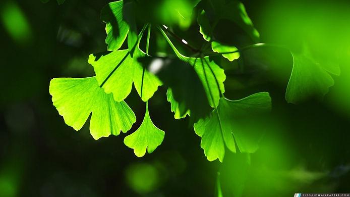 feuilles-de-ginkgo_1366x768.jpg