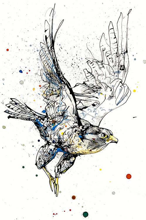 Kathryn Callaghan | Focus Falcon Original