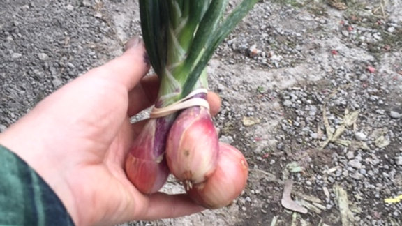 Shallot bunches