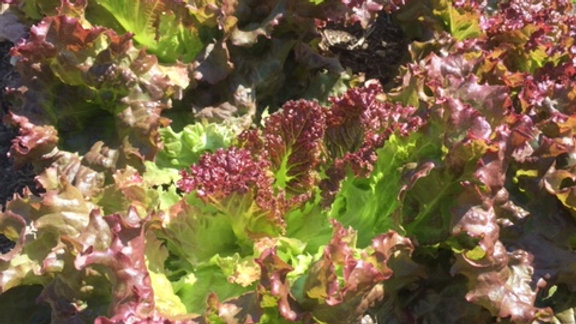 Curly Red Lettuce