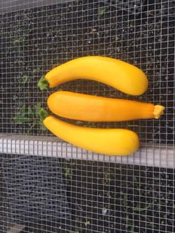yellow summer squash 3 pieces.JPG