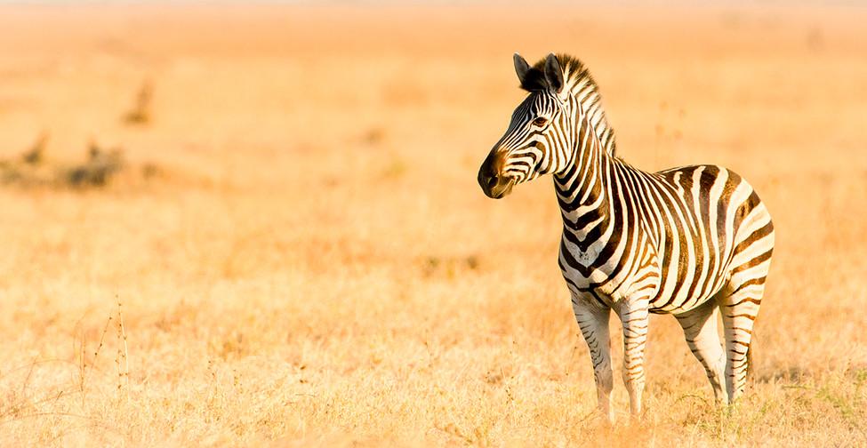 Long Zebra.jpg
