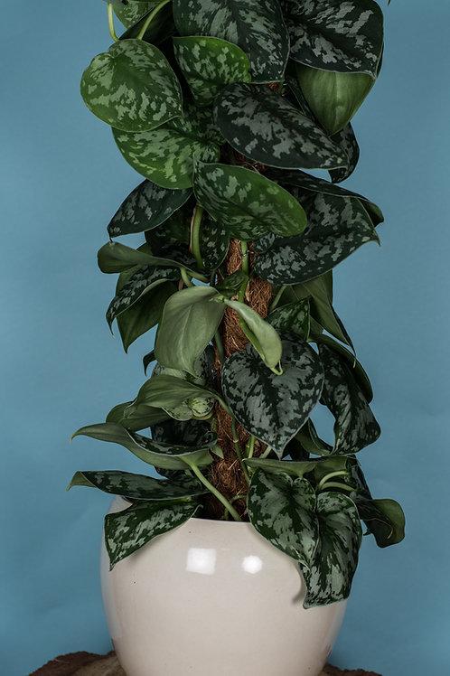 Scindapsis