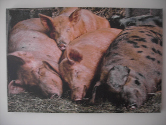 SLEEPING PIGS