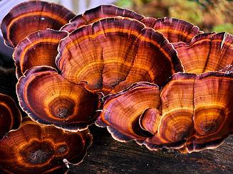 Reishi_mushrooms.jpg