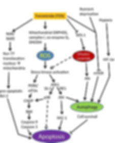 Fenretinide Cellular Signaling Pathways