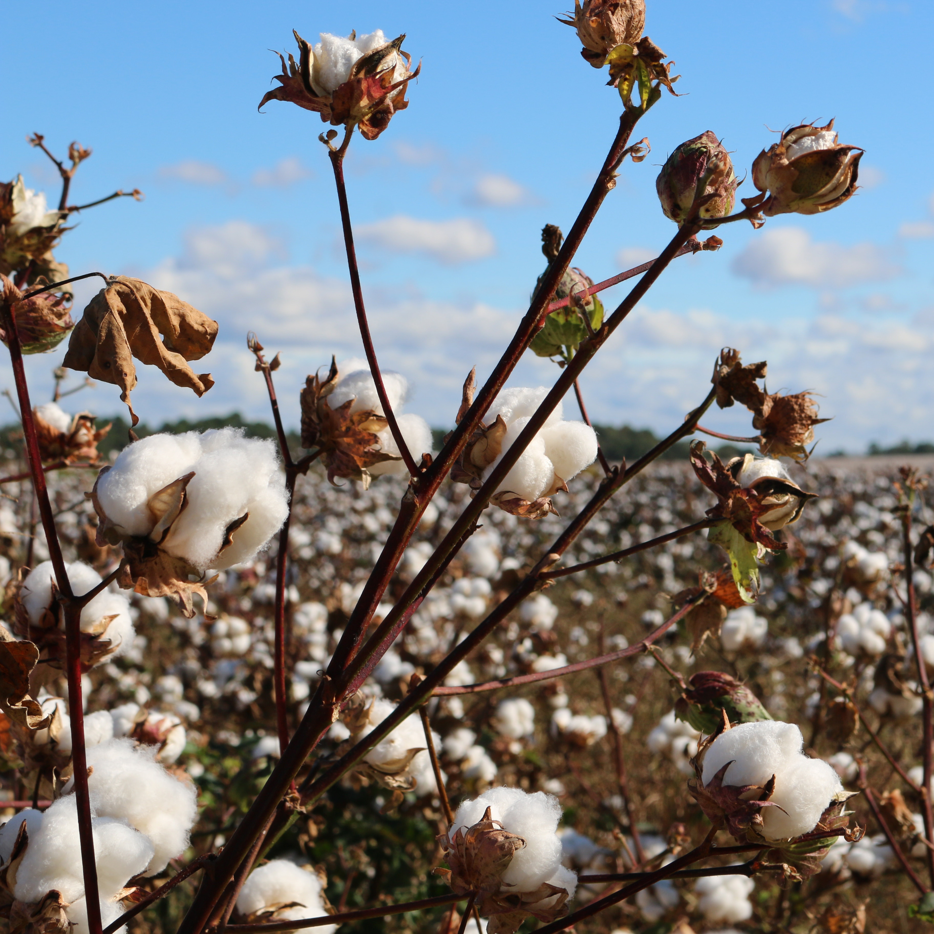 Finding solutions to distress among cotton farming communities