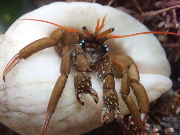 Heredity Fieldwork Grant from the Genetics Society to research the range expansion of hermit crabs