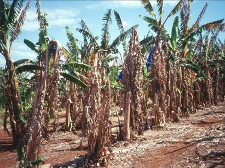 Banana crops affected by Panama disease