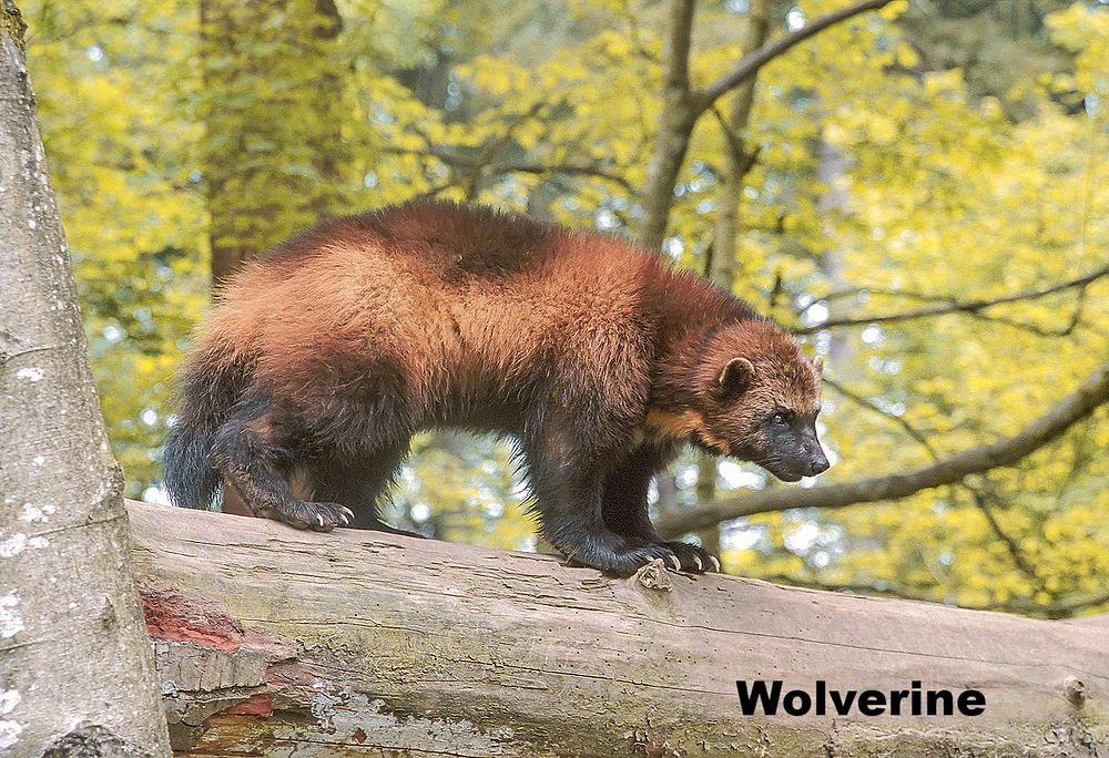 """The Wolverine. Classed as """"Vulnerable"""" in Europe by the IUCN Red List, and also threatened by climate change."""