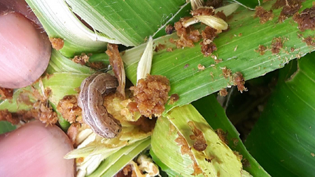 Fall Armyworm:  DFID evidence note