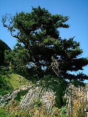 Podocarpus_latifolius.jpg