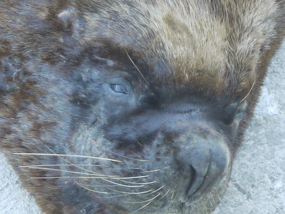 Valdivia Chile sea lion