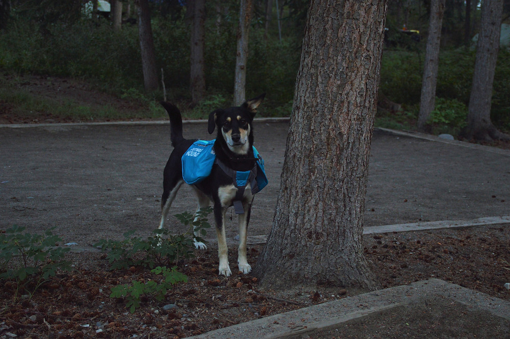 Backpacker dog