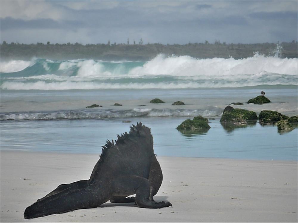 Iguana marina Tortuga Bay