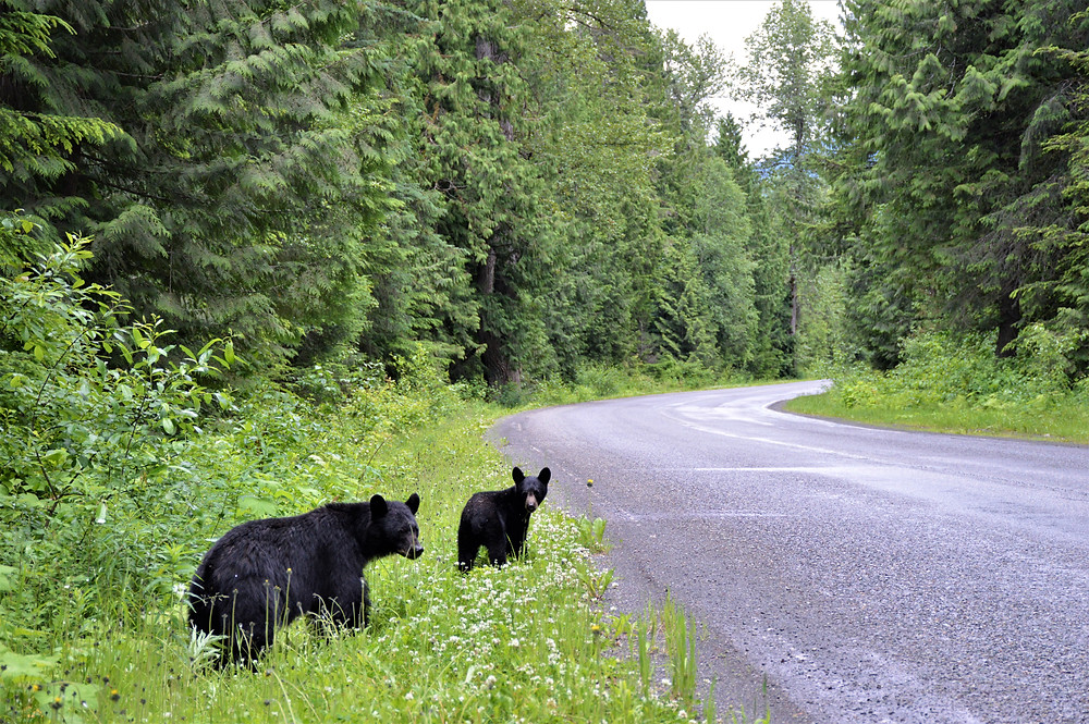 Around Prince Rupert and Terrace black bear