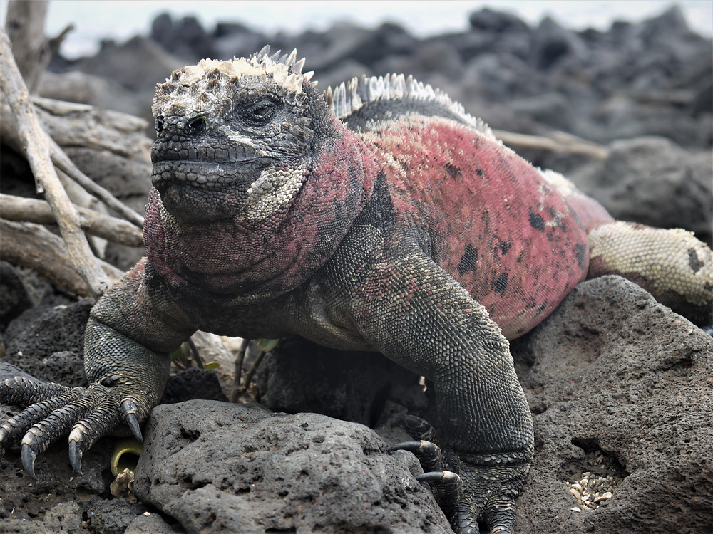 Iguana marina Playa Negra Floreana