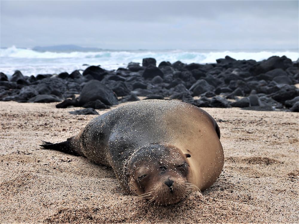 Islas Galápagos lobo marino