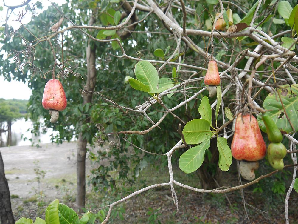 Caju tree and the caju fruit or cashew