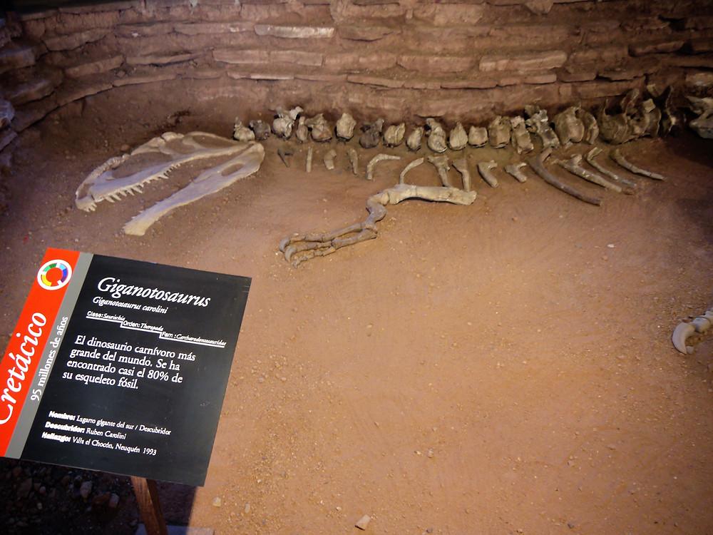 Villa el Chocón Giganotosaurus carolinii