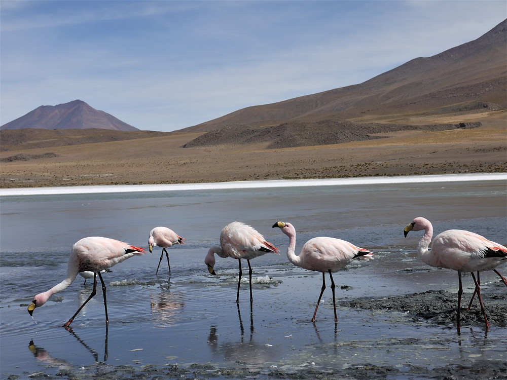 Flamencos Laguna Colorada Uyuni