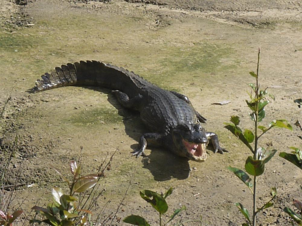 Jacaré Gran Pantanal Mato Grosso do Sul