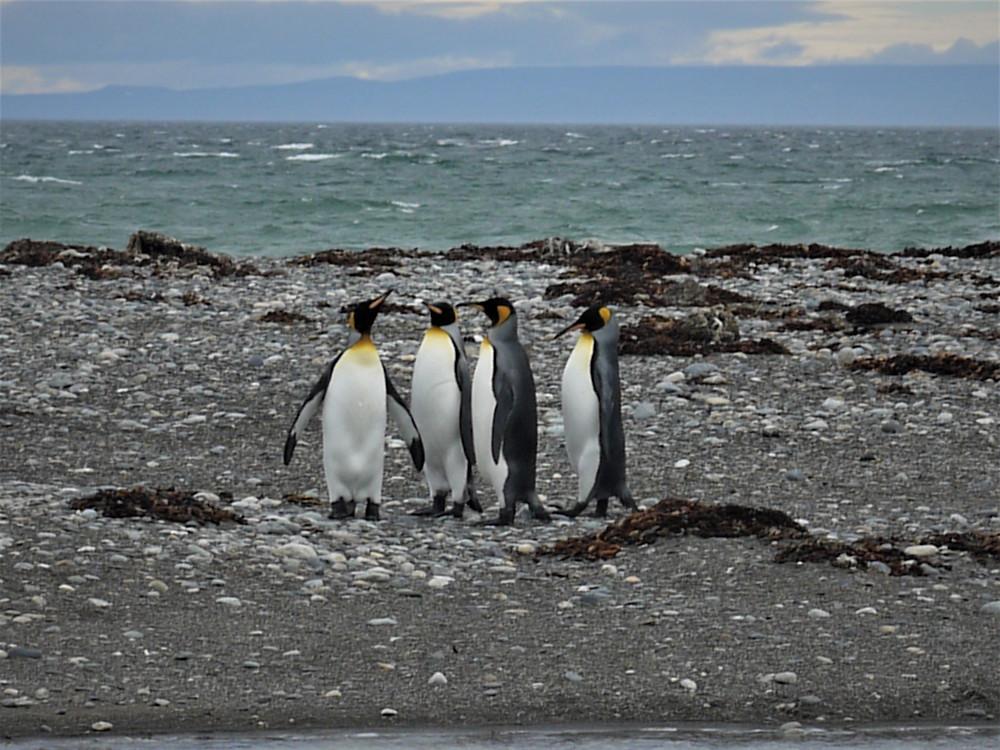 Parque Pingüino Rey Porvenir Chile