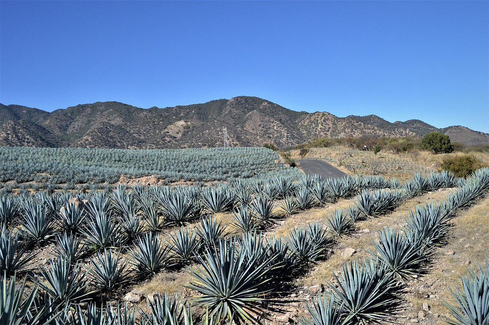 Agave fields Jalisco