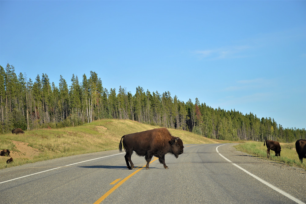 Bisons Alaska Highway