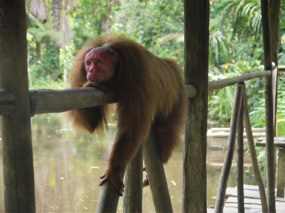 Monkey Pilpintuwasi Butterflyfarm