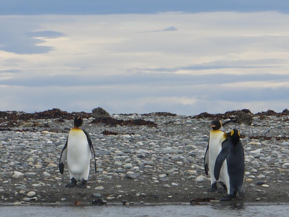 Porvenir King Penguin Reserve