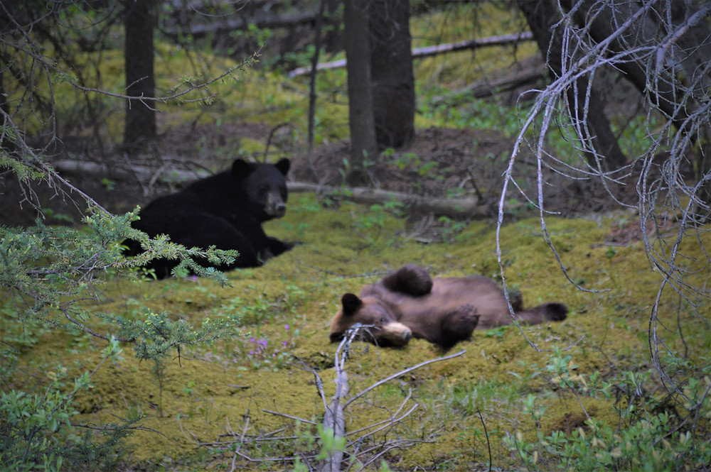 Bears Rocky Mountains