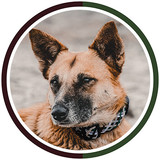 Brown dog sits on sand while wearing brown and green handmade collarears-Northern-Lights-