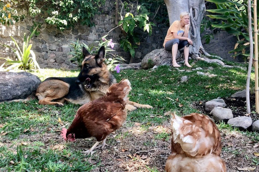 German Shepherd dog sits in garden among chickens while woman watches