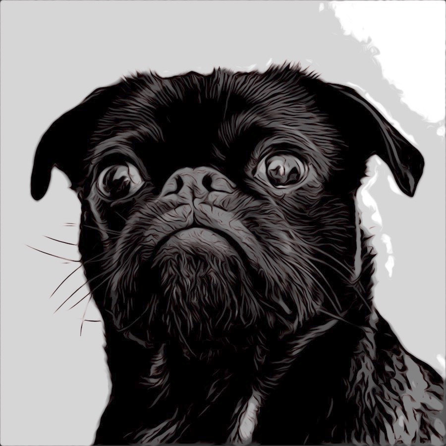 Comic cartoon black pug with pursed lips and intent face