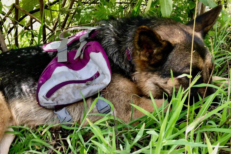 German Shepherd Moxie rests in the shade while wearing her Kurgo Baxter Backpack