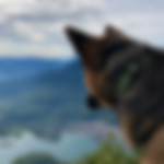 German Shepherd wearing green handmade collar look over mountains and lake